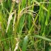 'Rice blast' leaves Pulwama farmers worried