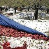 Govt estimates Rs 500 cr loss to crops due to early snowfall