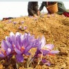 Saffron Mission that failed: Saffron yield fails to cheer up growers as no increase recorded