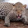 Leopard kills over 20 head of cattle in Ramban